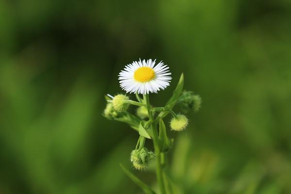 Prairie Wildflowers at Hemlock Crossing - 6/11/17