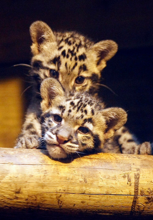 . Southeast Asian clouded leopards, (Neofelis Nebulosa) are seen at Jardin des Plantes Zoological in Paris, Thursday, July 22, 2010. The two female cubs, named Pati and Jaya, born on May 14, 2010,  recently made their first appearance in public . (AP Photo/Francois Mori)
