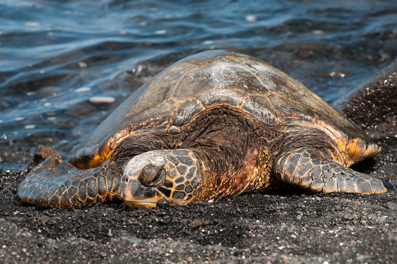 Sea Turtle Napping