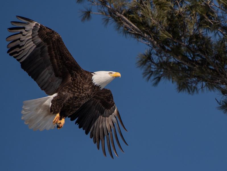 Eagle returning to nest