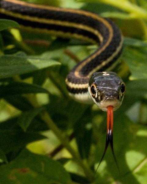 Garter Snake - DSC6973