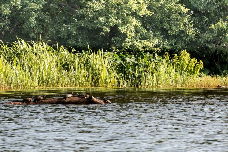 early morning basking: turtles on a log