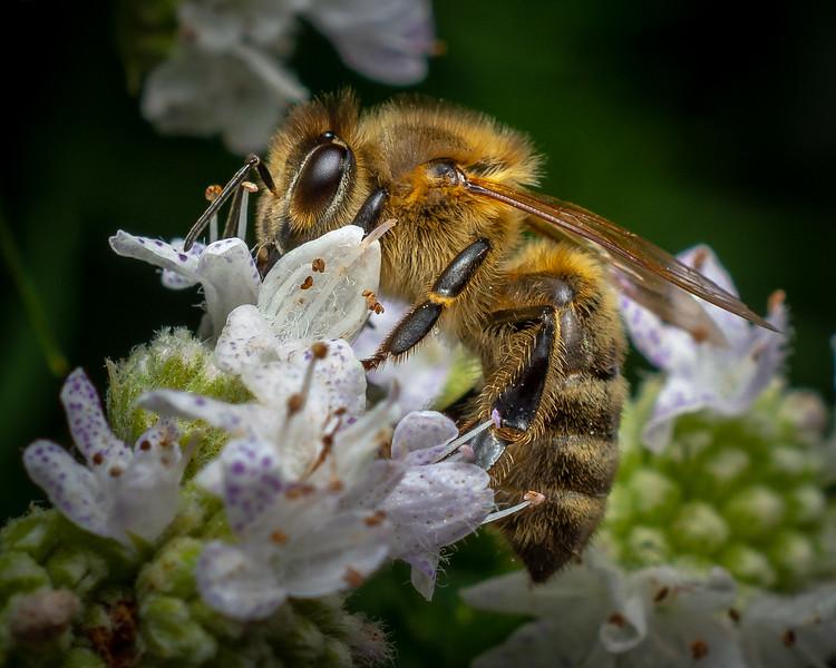 honey bee-1 --7-25-18.jpg