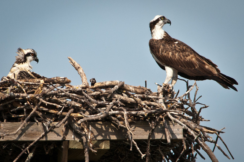 Juvenile (left) and adult (right) Ospreys in nest at Ding Darling. Note the difference in eye color between young and adult.