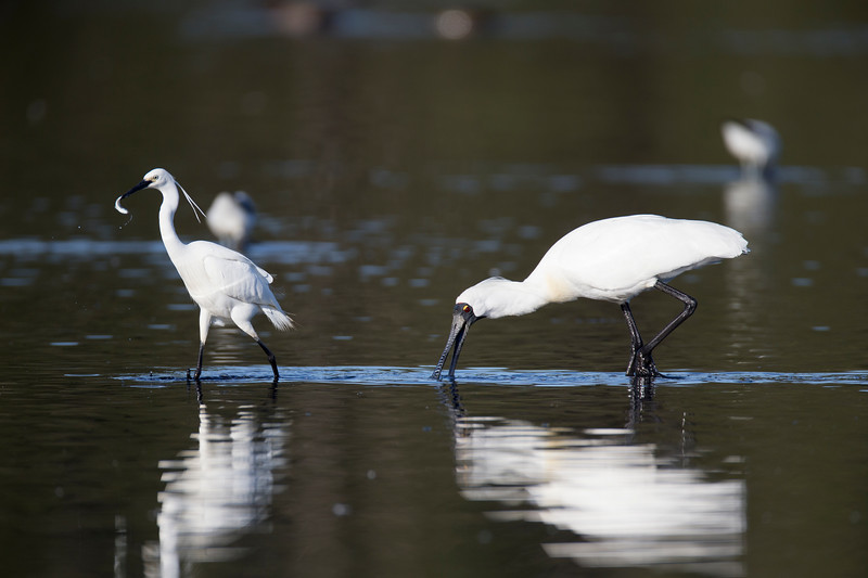 Royal Spoonbill and a Little Egret with a fish