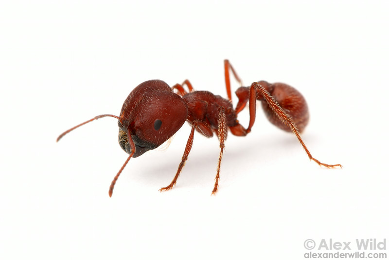 Pogonomyrmex badius, the Florida harvester ant, major worker.   Archbold Biological Station, Florida, USA