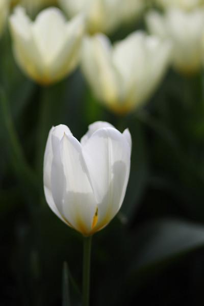 Tulips-2010 05.JPG