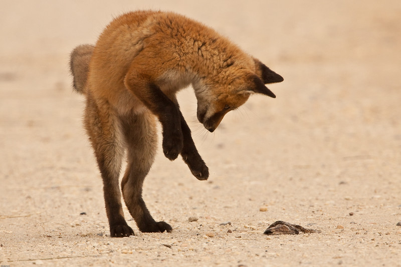 red-fox-kit-pouncing-on-dead-snake.jpg