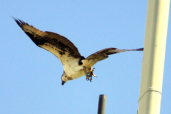 Osprey Shots 2020