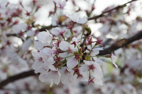 Cherry Blossoms April 2017