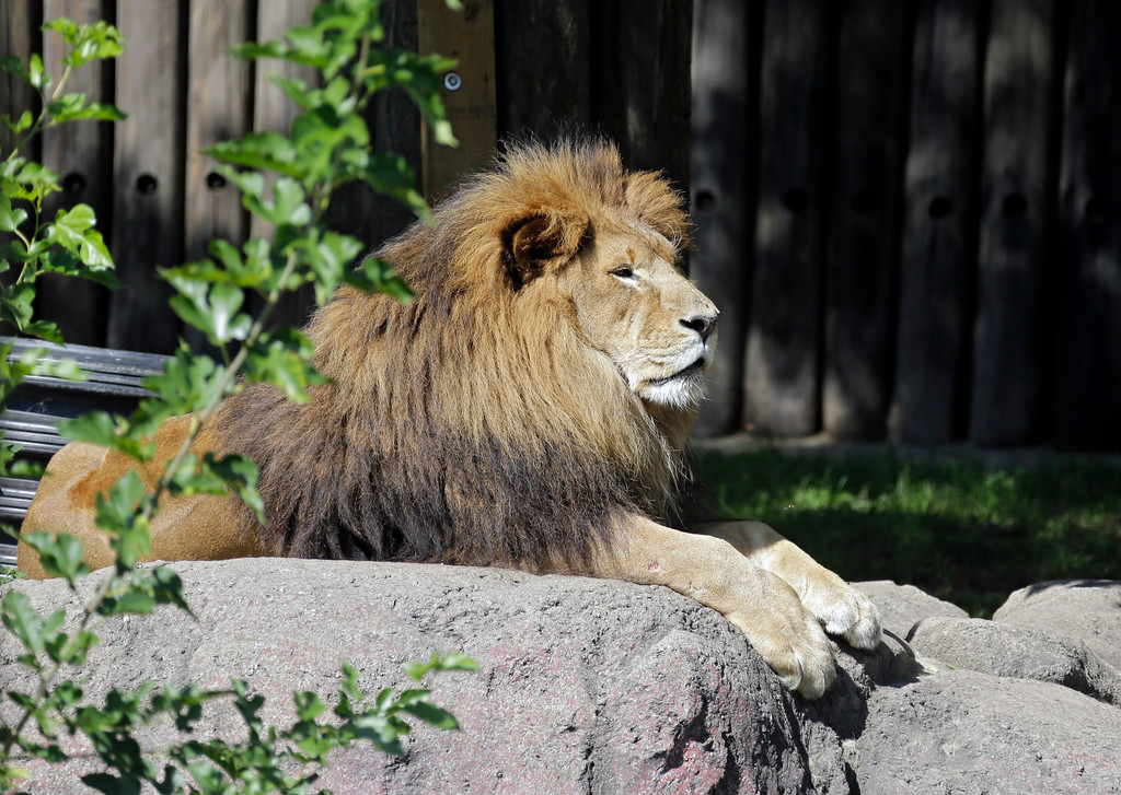 . A male African lion basks in the sun at the Cleveland Metroparks Zoo in Cleveland in 2014. National Grandparents Day is Sept. 9, and the zoo will be admitting grandparents for free. For more information, visit clevelandmetroparks.com/zoo. (AP Photo/Mark Duncan)