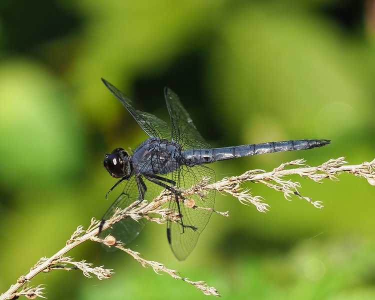 Slaty Skimmer, male