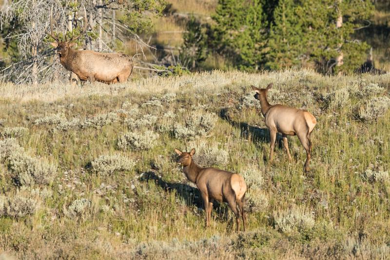 Elk-Gardiners-Hole-1.jpg