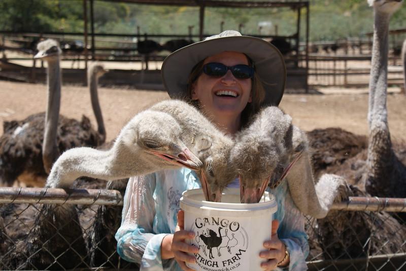 Ostrich feeding.