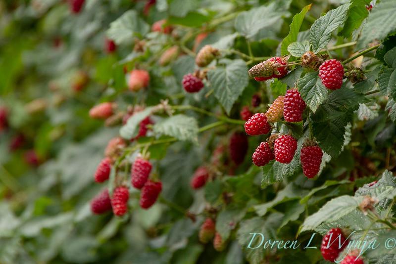 Raspberries on the vine_5383.jpg