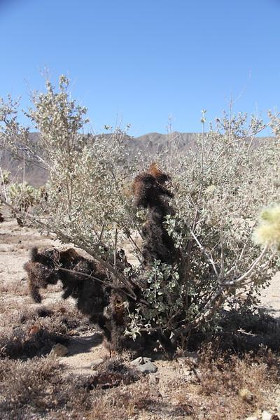20190524-14-SoCalRCTour-Cholla Cactus Garden Trail-Joshua Tree NP.JPG