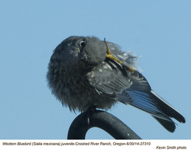Western Bluebird J27310.jpg