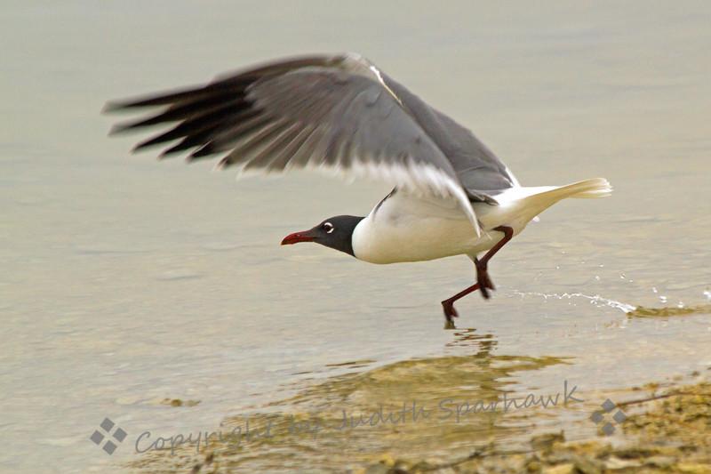 Flying Laughing gull.jpg