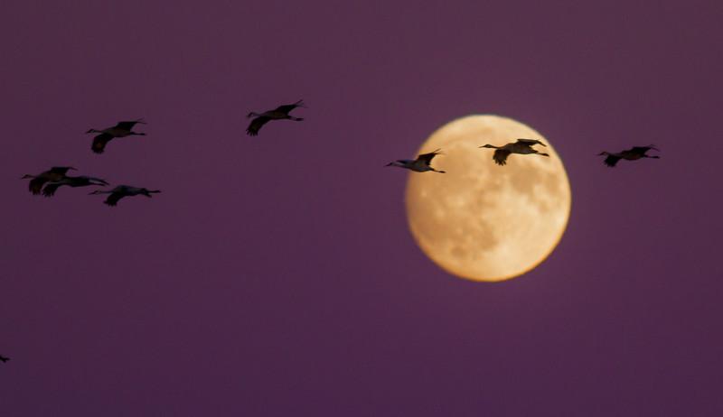 Sandhill Crane full moon fly in flight Crex Meadows Grantsburg WI IMG_2140.jpg