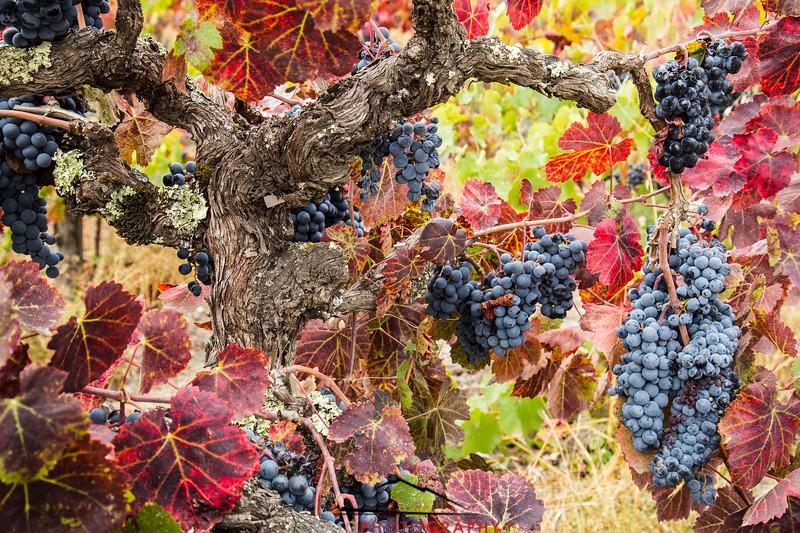Napa Valley Harvest #24