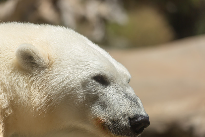 polar bear (37 of 50).jpg