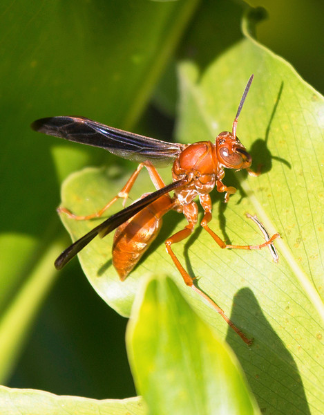 Red Paper Wasp picture affords another view of its ocelli eyes.