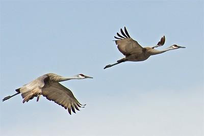 Monte Vista NWR Cranes, March 2013
