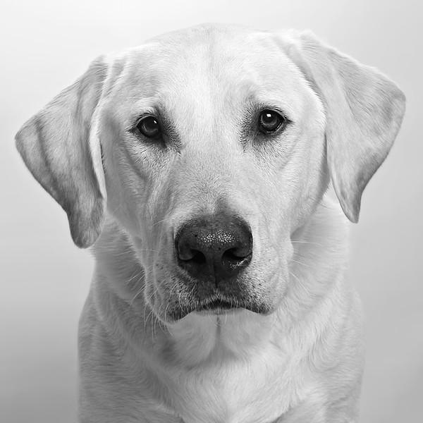 Labrador Portrait BW.jpg