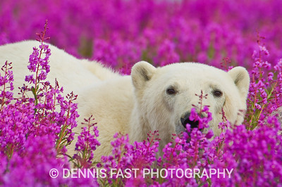 POLAR BEARS IN FIREWEED