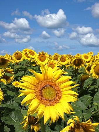 Sunflower perfect day.jpg