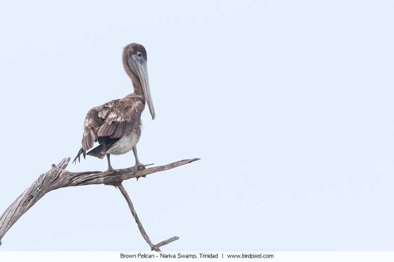 Brown Pelican - Nariva Swamp, Trinidad