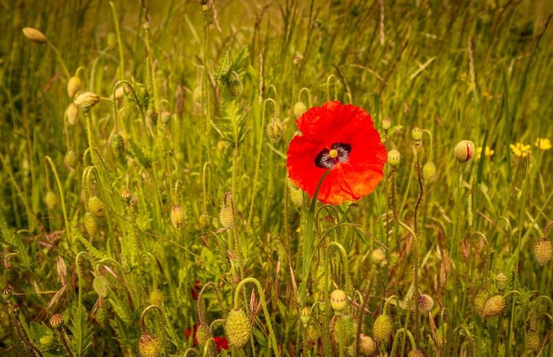Portrait view of a red poppie at the Yypres Tyne Cot War Cemetary, Ypres, Belgium.