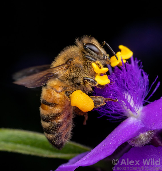 Apis mellifera on Tradescantia