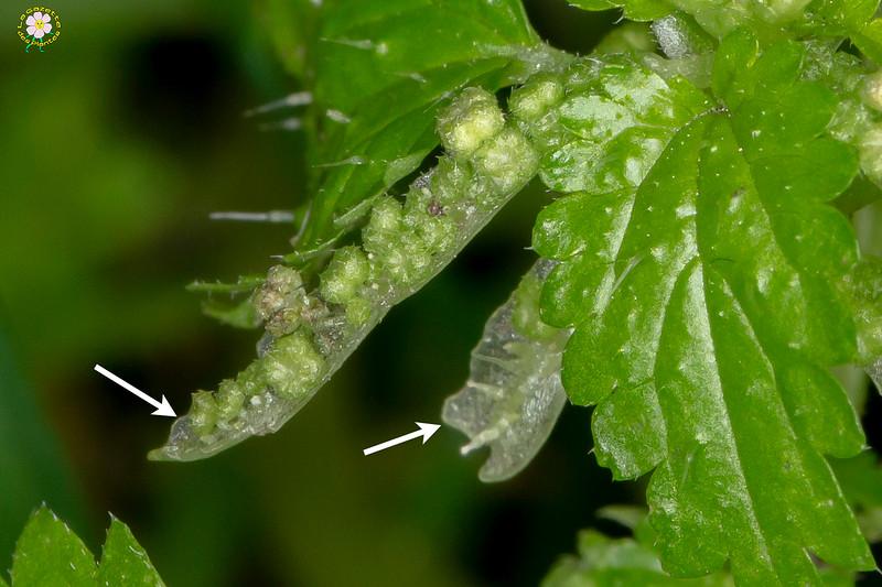 Ortie membraneuse; Ortie douteuse (Urtica membranacea)