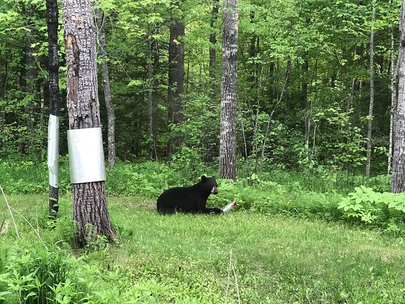 Black Bear at Skogstjarna Carlton County MNIMG_5623.jpg