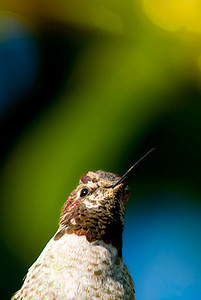 Hummingbird portrait.