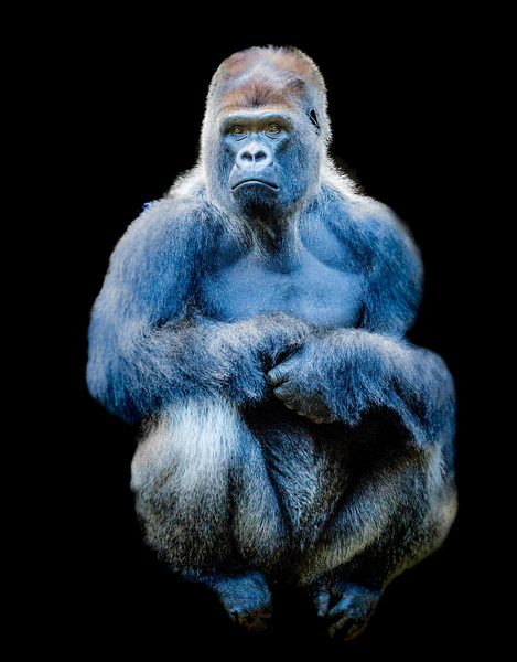 Front view of a gorilla