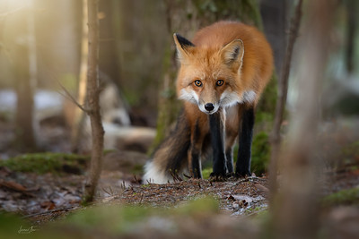 Red tail fox