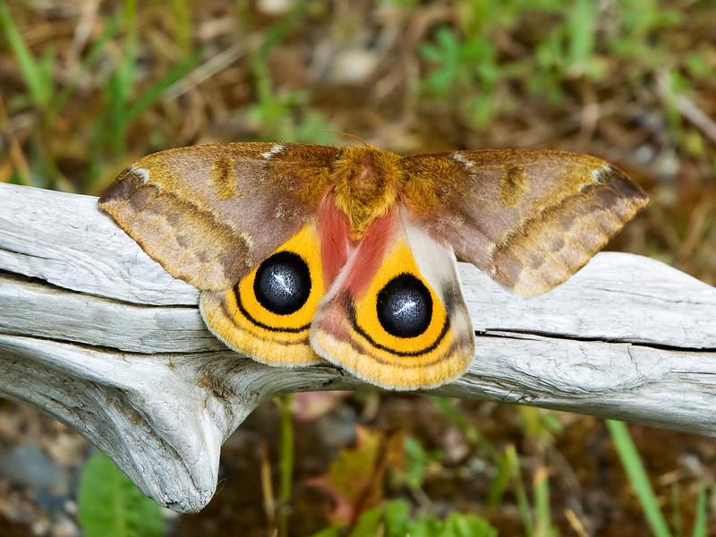 Io Moth - (Peacock Moth) - (Automeris io) - Dunning Lake - Itasca County, MN