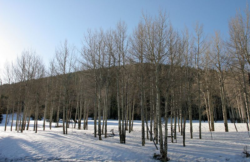 This aspen grove is just across the road from the Caldera. Sunrise on April 9, 2005.