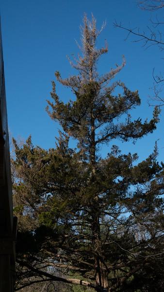 Dying Cedar