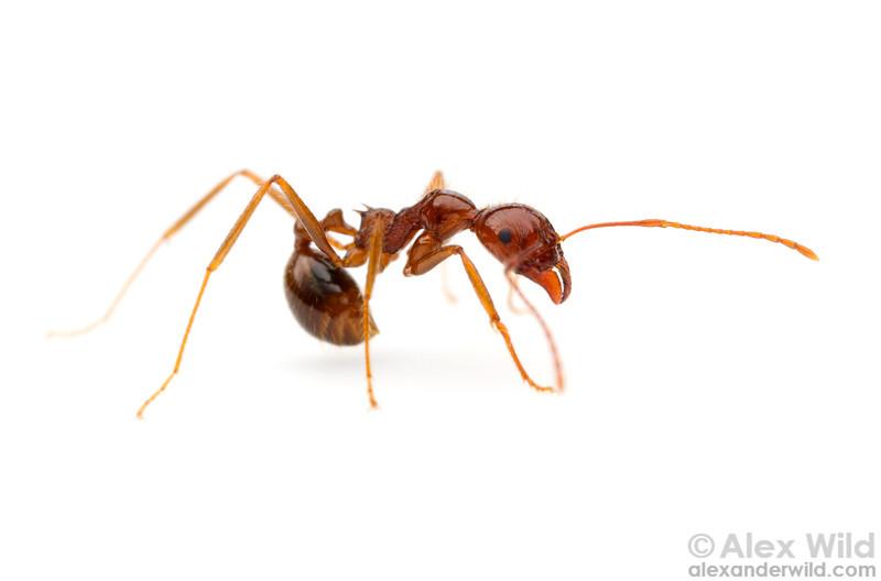 Aphaenogaster longiceps