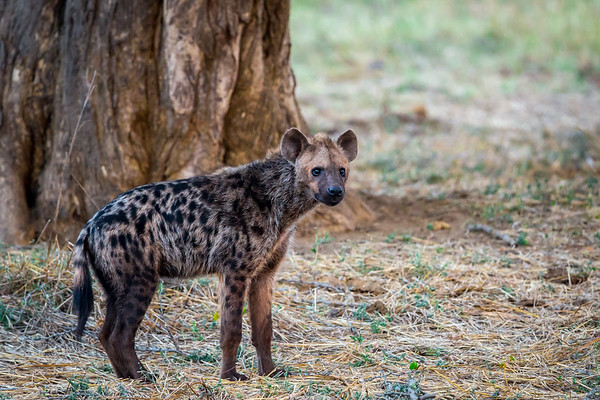Hyena, Warthog and other small mammals