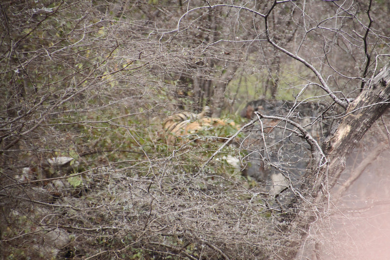 Bengal tiger in forest at fifty yards away in Ranthambore