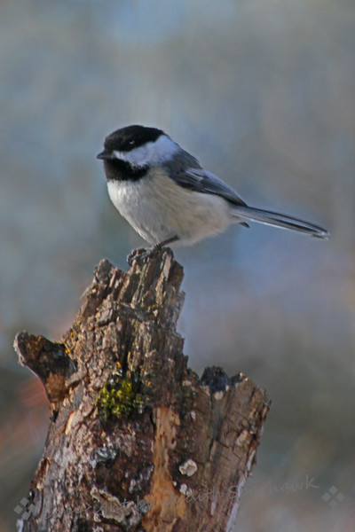 Black-capped Chickadee ~ This chickadee was using his beak, working on the log, as seen by the fresh woody area shown near the top.  He then hopped up on top to pose for his portrait.  I obliged him, naturally.