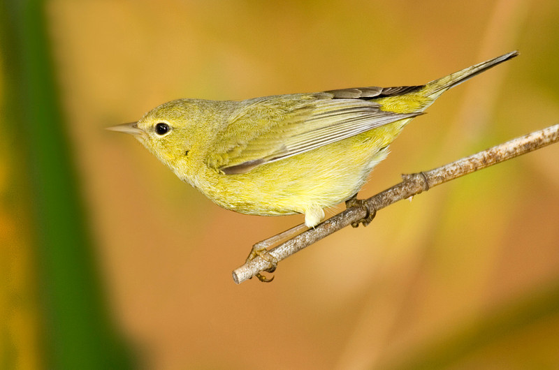 Orange-crowned Warbler 1.jpg