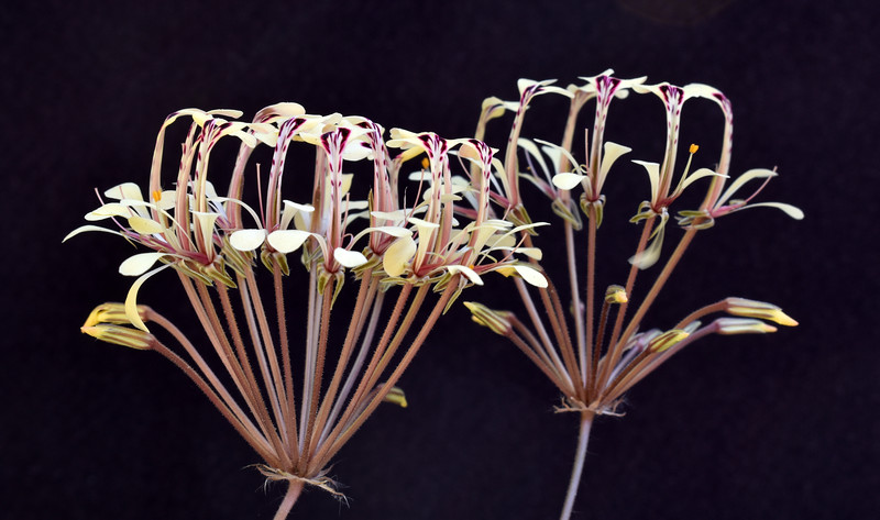 Pelargonium triandrum