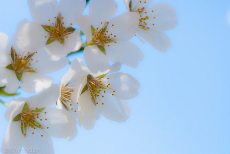 Cherry Blossom-aeamador-0201.jpg