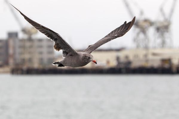San Pedro Harbor birds