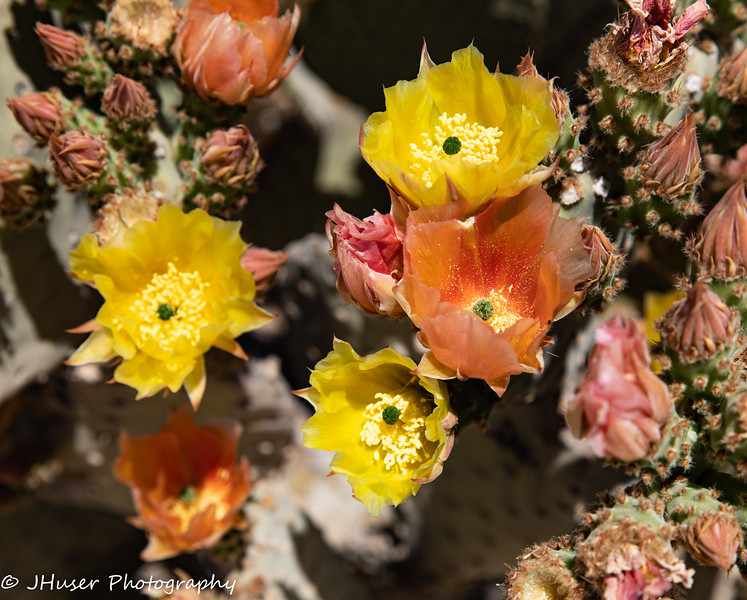 Colorful Cactus flowers